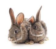 两只灰色兔子 库存图片