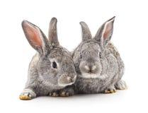 两只灰色兔子 免版税库存照片