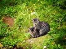 两只灰色猫 库存照片