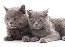 两只灰色猫 免版税图库摄影