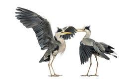 两只灰色苍鹭 免版税库存照片
