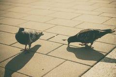 两只灰色鸽子在镇里 免版税图库摄影