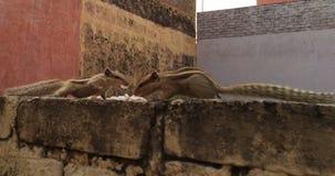 两只灰鼠战斗 图库摄影