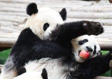 两只熊猫夺取苹果 库存照片