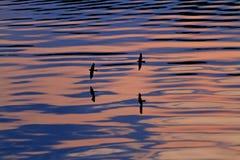两只燕子飞行在阴影和波浪中的水 库存照片