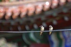 两只燕子鸟 免版税库存照片