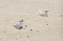 两只燕鸥坐他们的在沙子的鸡蛋 库存照片