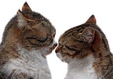 两只爱恋的猫夫妇是很接近的 库存图片