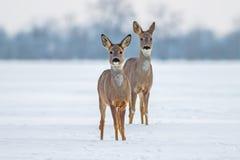 两只狍在冬天 库存照片