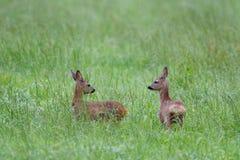 两只狍小鹿 库存图片