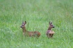 两只狍小鹿 库存照片