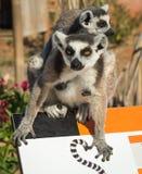两只狐猴一起坐篱芭在雅典在希腊 免版税库存照片