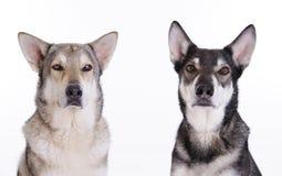 两只猎狼犬 库存照片