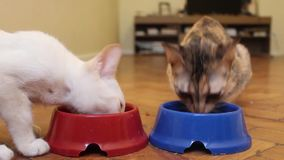 两只猫从碗吃着 小猫吃 两只年轻猫吃 股票视频