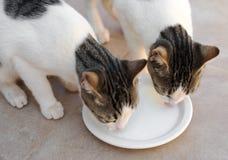 两只猫喝 库存照片