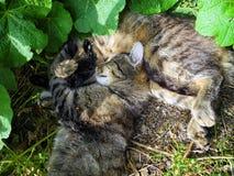 两只猫在草一起休息 库存图片