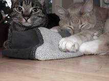 两只猫坐桌 库存照片