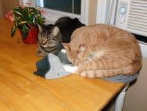 两只猫坐桌 免版税库存照片