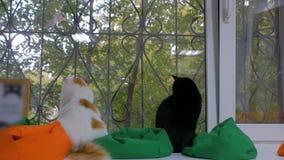 两只猫坐窗台 影视素材
