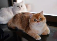 两只猫是恋人 免版税库存照片