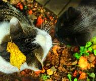 两只猫男性和femile得到acquanted 免版税库存图片