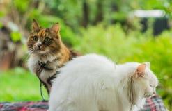 两只猫白色和颜色 免版税图库摄影