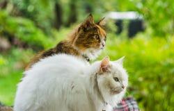 两只猫白色和颜色 免版税库存照片