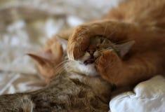 两只猫的友谊 免版税图库摄影