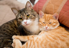 两只猫的友谊 库存照片