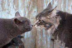 两只猫见面 免版税库存照片