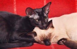 两只猫画象 图库摄影