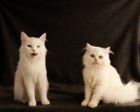 两只猫 免版税库存图片