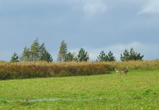 两只獐鹿在草甸,立陶宛 免版税库存照片