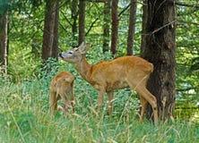 两只獐鹿 库存图片
