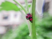 两只瓢虫展示爱 免版税图库摄影