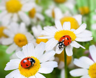 两只瓢虫 免版税图库摄影