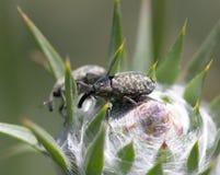 两只甲虫本质上 宏指令 图库摄影