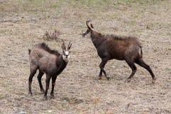 两只男性羚羊(Rupicapra rupicapra)在阿尔卑斯 免版税库存图片