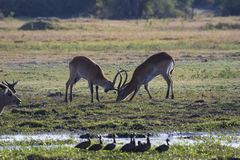 两只男性飞羚战斗 免版税图库摄影