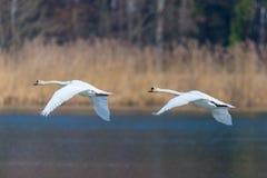 两只疣鼻天鹅在连贯飞行的天鹅座olor 免版税图库摄影