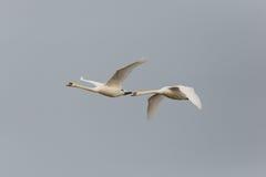 两只疣鼻天鹅天鹅座olor在飞行中与灰色天空 图库摄影