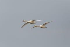 两只疣鼻天鹅天鹅座olor在飞行中与灰色天空 免版税库存图片