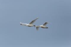 两只疣鼻天鹅天鹅座olor在飞行中与蓝天 库存照片