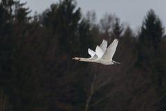 两只疣鼻天鹅天鹅座olor飞行 图库摄影