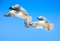 两只白海鸥在天空飞行高 免版税库存图片