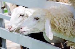 两只白羊在小牧场 库存照片