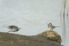 两只白色令科之鸟鸟,晨曲的Motacilla,战斗 图库摄影