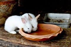 两只白色兔子饮用水从被烘烤的黏土圆盘 库存图片