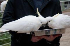两只白色大美冠鹦鹉鸟吃 库存照片