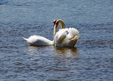 两只白色天鹅停留接近彼此在河轴出海口在德文郡 免版税库存照片